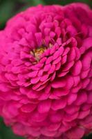 bela flor da dália vermelha