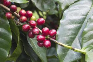 grãos de café arábica foto