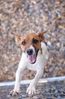 cão feliz terrier de rato em uma cerca da ligação chain foto