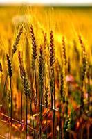 trigo de inverno foto