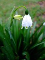 floco de neve de inverno (galanthus) foto