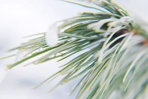 ramos de pinheiro de inverno foto