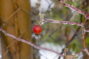 espinheiro. inverno. neve. foto
