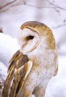 coruja de celeiro no inverno foto