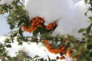 bagas de inverno na neve foto