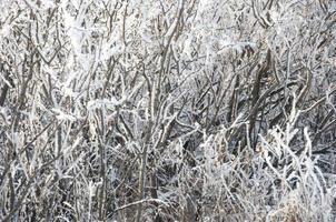 galho de árvore do inverno com neve