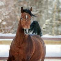 cavalo árabe baía no inverno foto
