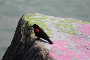 melro de asa vermelha em uma rocha no lago michigan foto
