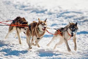 executando cães husky foto