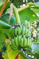 bananas verdes foto