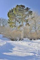 bela árvore em um jardim de inverno nevado foto