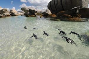 pinguim nadar foto