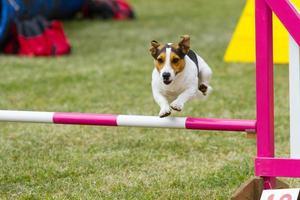 cão em competição foto