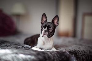 Boston terrier na cama foto