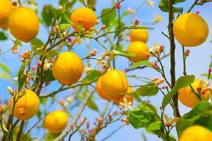 limões que crescem na árvore de limão foto