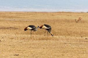 pássaros selvagens andando em uma pastagem na África foto
