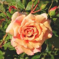 rosa pêssego foto