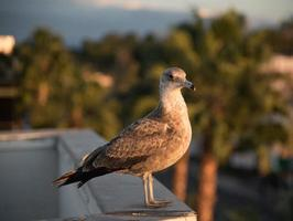 gaivota juvenil no telhado foto