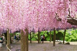 túnel de glicínias, o mundo fantástico cheio de flores de glicínias foto