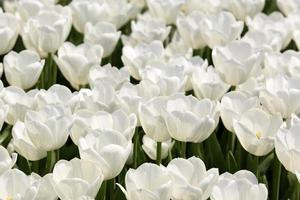 tulipas coloridas e flores muscari