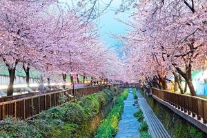 lindas flores de sakura em busan, coreia do sul