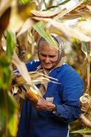 velha agricultora na colheita de milho foto