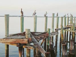 pelicanos em uma doca
