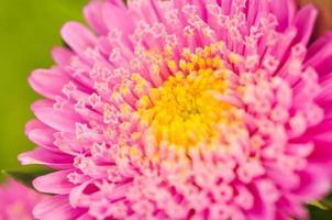 flor rosa está florescendo. foto