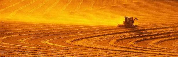 colheita de ouro foto
