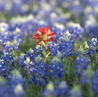 flor vermelha, cercada por flores azuis foto
