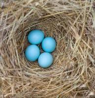 ninho de pássaro azul com ovos foto