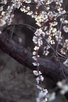 flor de ameixa branca foto