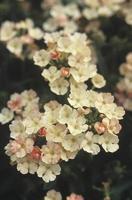 flores verbena foto
