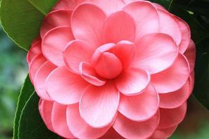 flor de camélia foto