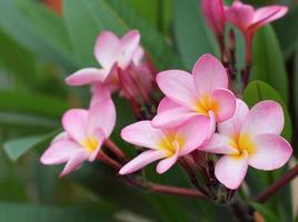 flor de frangipani foto