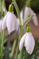 belas snowdrops. foto