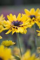 flor - rudbekia foto