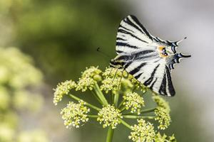 flor de borboleta foto