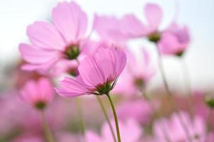 flor de cosmos