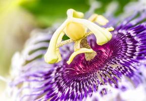 flor de passiflora foto
