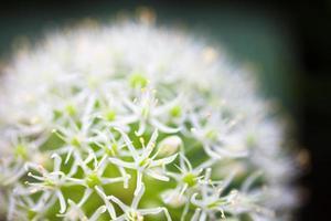 cebola ornamental branca em flor (allium) foto