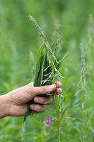 colhendo flores e folhas de erva de salgueiro (chá de ivan)