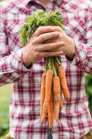 agricultor segurando o monte de cenouras orgânicas foto