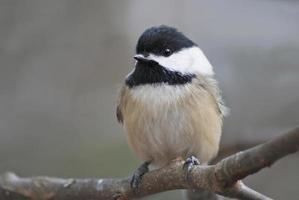 chickadee close-up foto