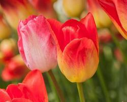 tulipas close-up foto