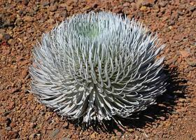 silversword close-up foto