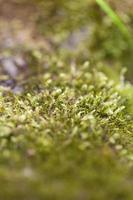 close-up de musgo foto