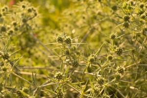 close-up de erva-cidreira foto