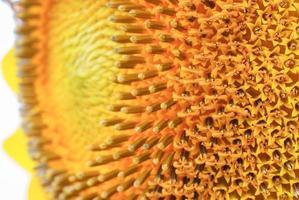 girassol close-up