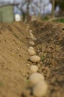 plantando batatas. foto